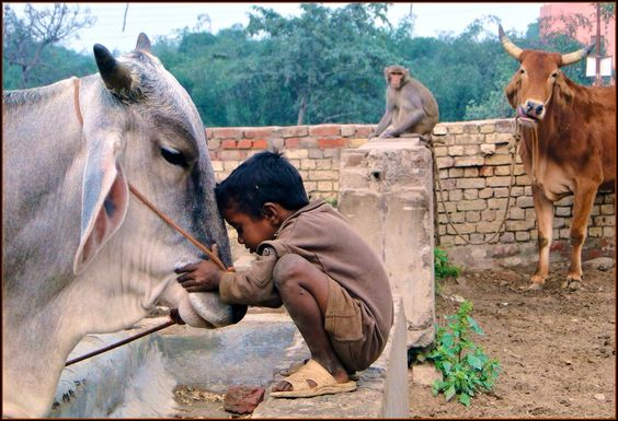 child bowing with cow